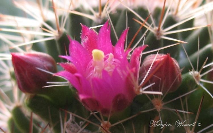Mes cactus