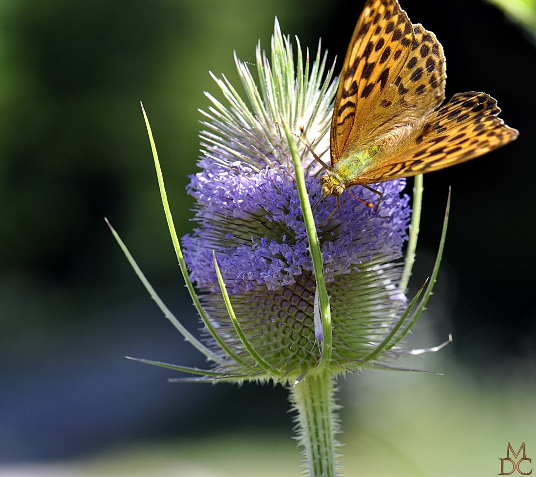 Papillon et cardère sauvage