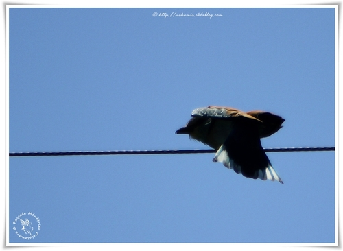 Rollier d'Europe - Coracias garrulus - European Roller