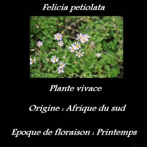 Felicia petiolata