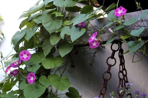 Des compagnes pour mes roses : Ipomoea (Ipomée - Volubilis)