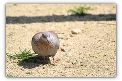 Pigeon roussard - Parc des oiseaux