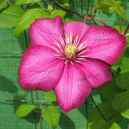 Clématite rose - La fleur