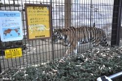 tigre tora 虎