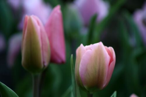 Tulipes 2020 : Big Love