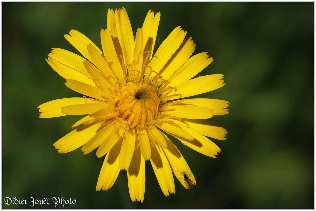 Piloselle / Pilosella officinarum
