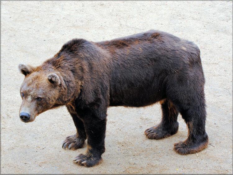 Photo d'un Ourse brun - Zoo de la Boissière du Doré
