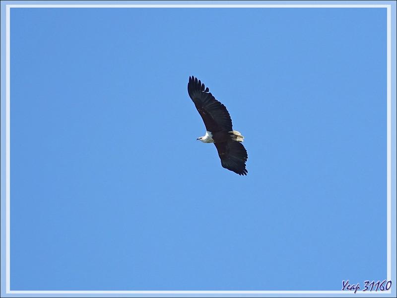 Pygargue vocifère ou Aigle pêcheur, African Fish Eagle (Haliaeetus vocifer) - Safari terrestre - Parc National de Chobe - Botswana