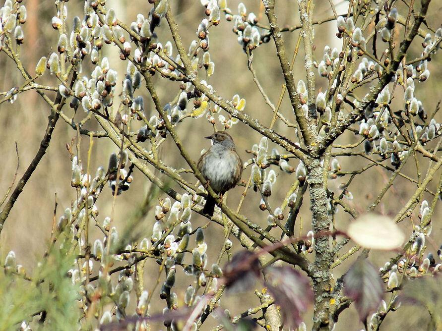 Il chante pour accueillir le printemps