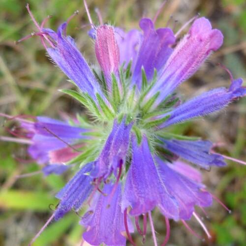 La Vipérine commune (Echium vulgare)