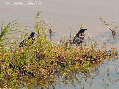 Festins de corbeaux