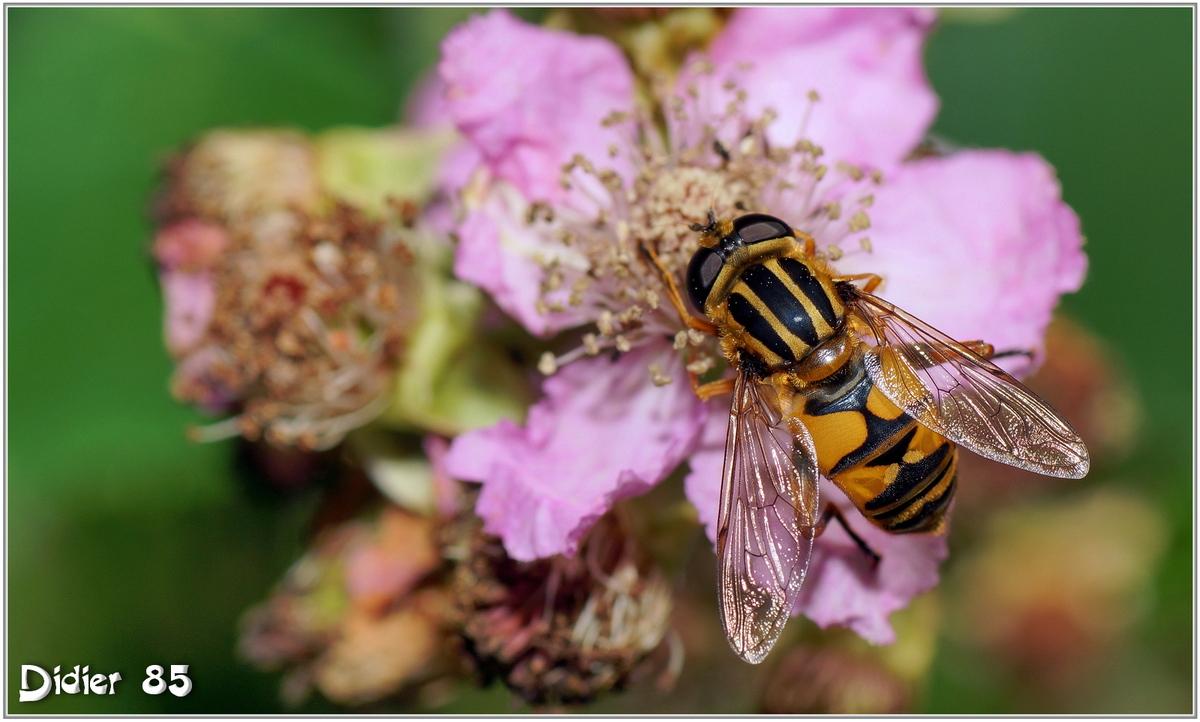 Eristale des Fleurs (4) - Myathropa florea