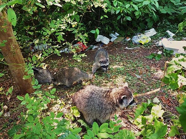 Jour 28 Stanley Park ratons laveurs