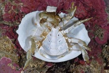 Un crabe qui se protège ...