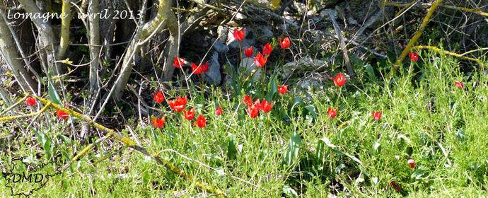 Tulipa raddii  -  tulipe précoce