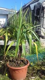 yucca (gloriosa ou recurvifolia ?)