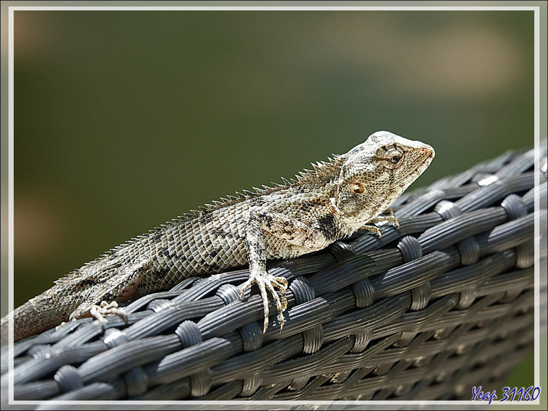 La métamorphose de couleur du Lézard Agame arlequin « Caméléon » mâle, Common Garden Lizard, Bloodsucker, Changeable lizard (Calotes versicolor) - Moofushi - Atoll d'Ari - Maldives