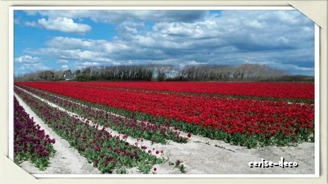 les tulipes à la pointe de la torche