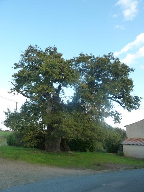 Le chêne de la Mainborgère....