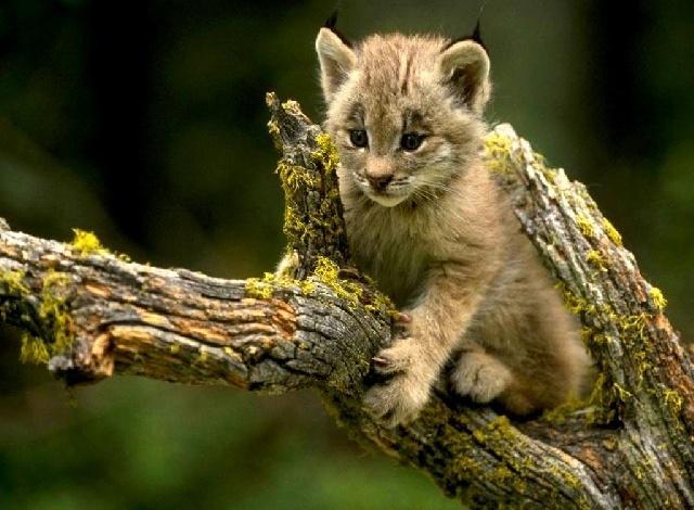 Tit lynx