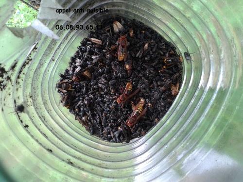piégeage des frelons asiatiques