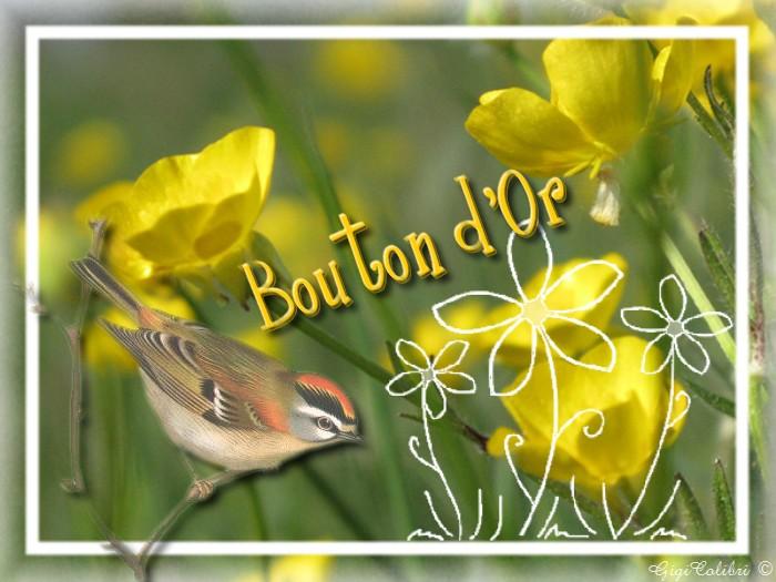 bouton d'or fleur