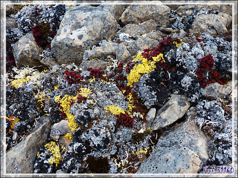 En regardant de près, cet univers minéral est très beau grâce aux couleurs des lichens - Qariaragiuk - Somerset Island - Nunavut - Canada
