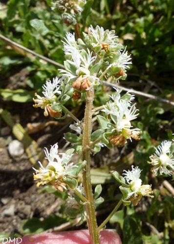 Reseda phyteuma  -  réséda raiponce
