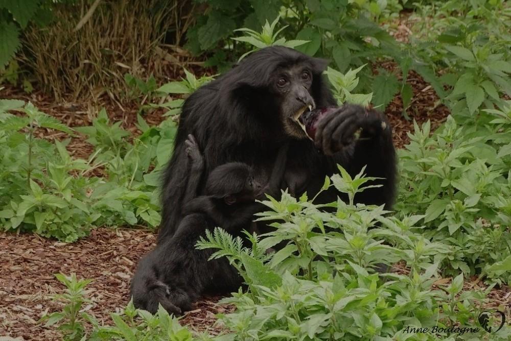 Gibbons Siamang