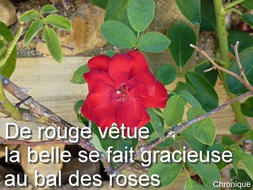 ROSE-DE-METZ-B.jpg