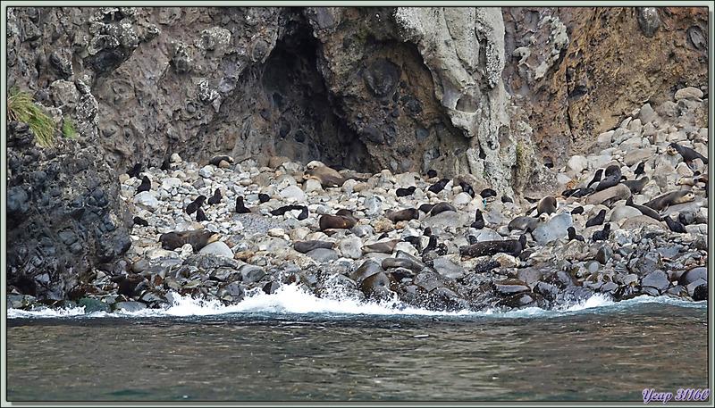 Otaries à fourrure subantarctique, ou Otarie d'Amsterdam, Subantarctic fur seals (Arctocephalus tropicalis ) - Nightingale Island - Tristan da Cunha