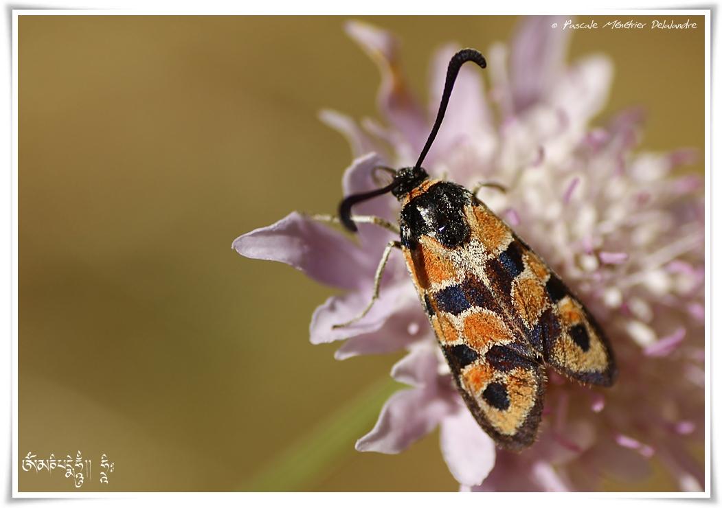 Zygène de la bruyère ou Zygène de la petite coronille (Zygaena fausta) - Zygaenidae