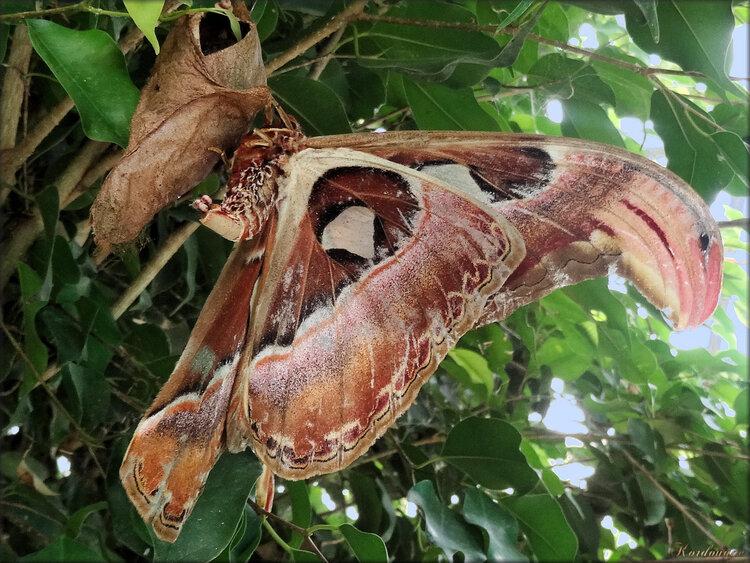 Photo de papillon Attacus Atlas (Ile aux papillons)
