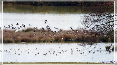 Les Vanneaux huppés, Northern Lapwing (Vanellus vanellus) du lac de Puydarrieux - Hautes-Pyrénées