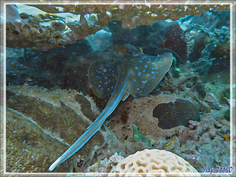 Raie pastenague à points bleus, Raie à taches bleues, Bluespotted ribbontail ray, Bluespotted stingray (Taeniura lymma) - Antsoha (Rocher 4ème Frère) - Tsarabanjina - Mitsio - Madagascar