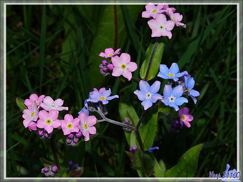 Fleurs tricolores : les myosotis (nomeolvides) - Tierra del Fuego - Argentine
