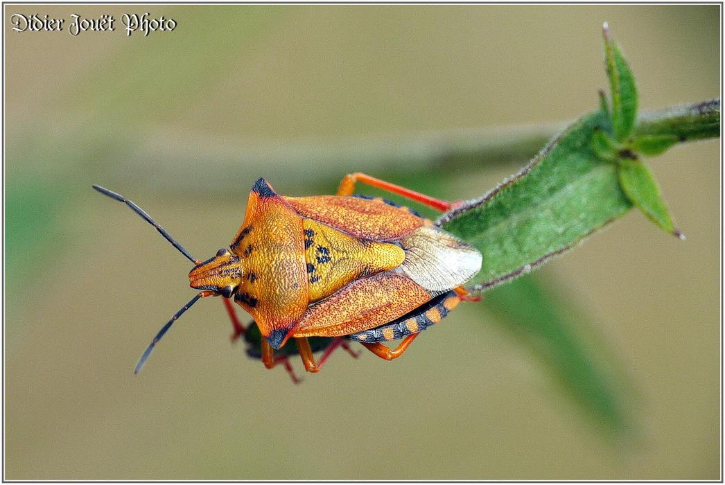 Punaise Carpocoris Fuscispinus