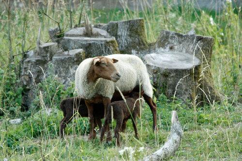 Naissance de moutons sur l'île de Bohan