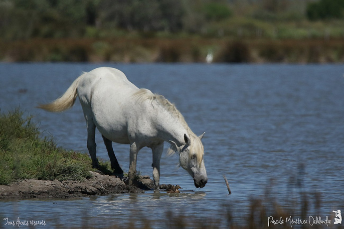 Cheval de Camargue... en Camargue