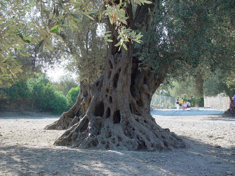Oliviers sur le site de Cnossos, en Crète...