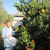 maroc essaouira cueillette orange noël