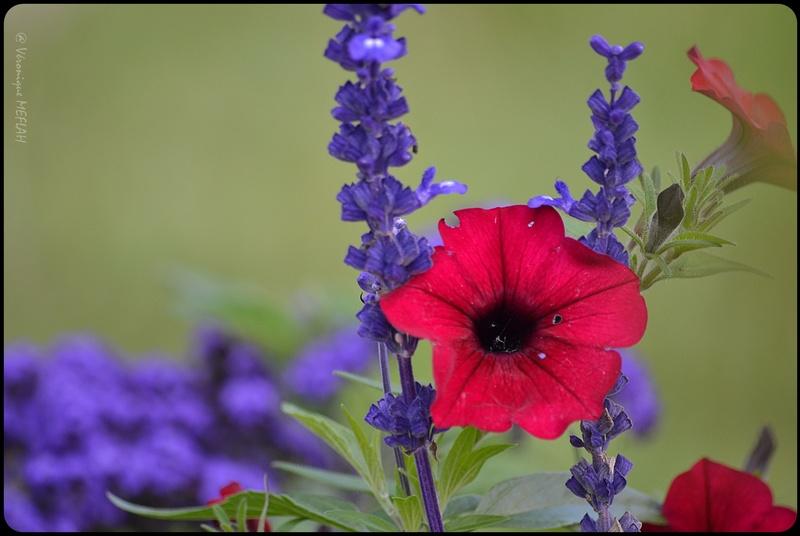 Jolies fleurs de Rambouillet