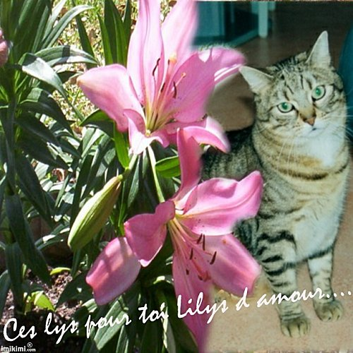 Lilys-lys-catherine.jpg