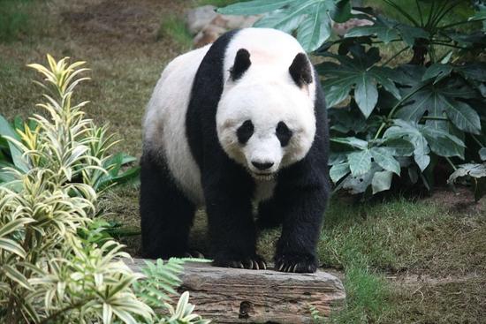 1024px-Grosser_Panda