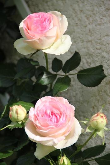 Roses de mi-mai