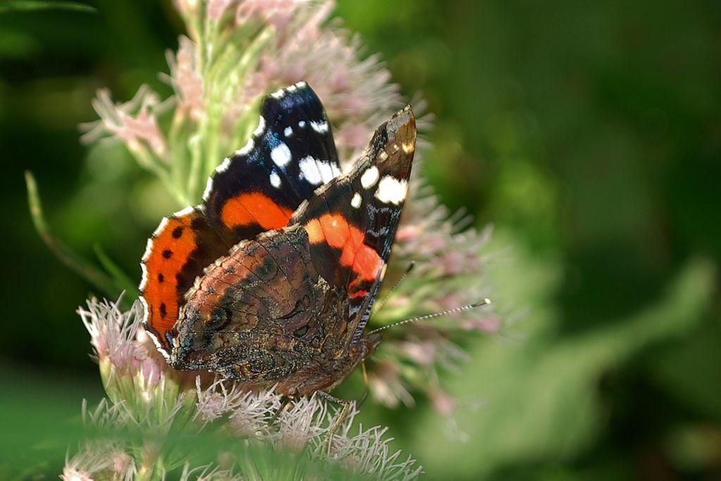 Le vulcain  (Vanessa Atalanta)  Nymphalidae