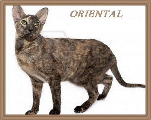 2538141-chat-oriental-avec-des-yeux-verts