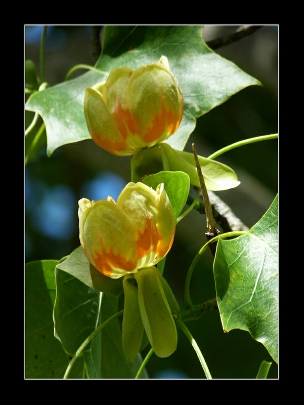 Fleur du tulipier de Virginie