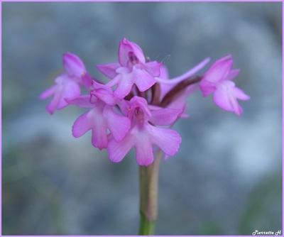 Orchis moucheron