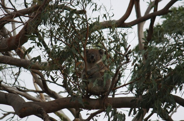 koalas6.jpg